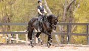 Gentle, responsive registered Percheron Warmblood Gelding  on HorseYard.com.au