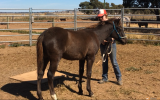 Spotted Pony Gelding on HorseYard.com.au (thumbnail)
