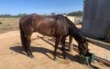 Eventer/All rounder on HorseYard.com.au (thumbnail)