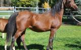 Arab mare by Desperado winner WAHO on HorseYard.com.au (thumbnail)