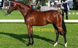 Oriana Allure on HorseYard.com.au (thumbnail)