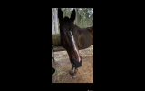 Novice's TB gelding  on HorseYard.com.au (thumbnail)