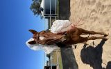 7yr old chestnut quarter horse cross  on HorseYard.com.au (thumbnail)