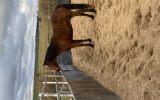 Project horse on HorseYard.com.au (thumbnail)