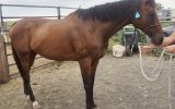 Quiet TB Gelding on HorseYard.com.au (thumbnail)