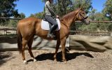OTT GELDING on HorseYard.com.au (thumbnail)