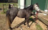 Registered Aust pony, 4yo Filly very pretty girl needs to be showing on HorseYard.com.au (thumbnail)