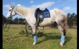 Flashy first cross Andalusian mare on HorseYard.com.au (thumbnail)