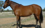 Registered 50% Anglo Arabian Filly on HorseYard.com.au (thumbnail)