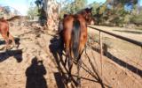 Kilburns Cool Change Bay colt ASH on HorseYard.com.au (thumbnail)