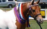 Pinto 3rd Gen Australian Pony Mare on HorseYard.com.au (thumbnail)