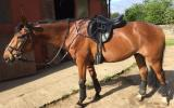 Bright AND Talented and young HorseThoroughbred For Sale  on HorseYard.com.au (thumbnail)