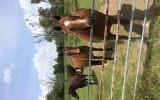 Clydesdale X Quarter Horse Meet Nugget on HorseYard.com.au (thumbnail)