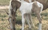 Stunning pally and white colt  on HorseYard.com.au (thumbnail)