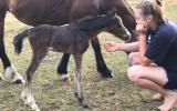 Welsh C Broodmare with Foal at Foot on HorseYard.com.au (thumbnail)