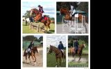 All rounder 16hh for Novice rider  on HorseYard.com.au (thumbnail)