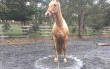 Palomino QH gelding on HorseYard.com.au (thumbnail)