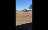 Project paint horse on HorseYard.com.au (thumbnail)
