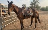 Standardbred  on HorseYard.com.au (thumbnail)