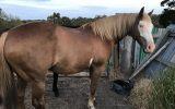 QH X paint gelding  on HorseYard.com.au (thumbnail)
