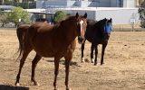 Qh mare  on HorseYard.com.au (thumbnail)