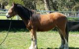2yo Gypsy Cob (50%) X Clydie X Gelding – feather galore and amazing temperament on HorseYard.com.au (thumbnail)