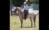 REGISTERED RED DUN LEOPARD APPALOOSA GELDING on HorseYard.com.au (thumbnail)