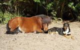Miniature Pony on HorseYard.com.au (thumbnail)