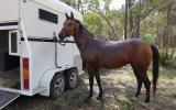 Mali on HorseYard.com.au (thumbnail)