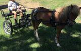 Miniature Horse - Mare on HorseYard.com.au (thumbnail)