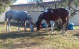 Trinity Wild Ivory on HorseYard.com.au (thumbnail)