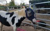 Black and white Pony on HorseYard.com.au (thumbnail)