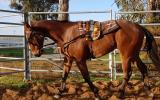 Quiet QH Gelding  on HorseYard.com.au (thumbnail)