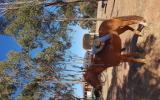 Quater pony on HorseYard.com.au (thumbnail)