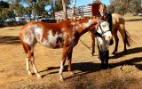 Registered Paint Filly on HorseYard.com.au (thumbnail)