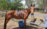 QH/STOCK HORSE on HorseYard.com.au (thumbnail)