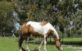 Paint x qh mare on HorseYard.com.au (thumbnail)