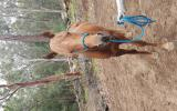 6yo thoroughbred stallion on HorseYard.com.au (thumbnail)