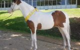 Arabec Stormbird (Stormy) on HorseYard.com.au (thumbnail)