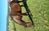 Ideal Pony Club Mount on HorseYard.com.au (thumbnail)