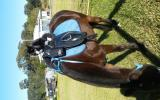 13.3hh mare on HorseYard.com.au (thumbnail)