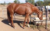 QUIET allrounder  on HorseYard.com.au (thumbnail)