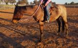 Lovely natured roan QH gelding on HorseYard.com.au (thumbnail)