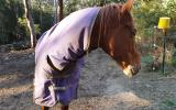 6yo TB stallion on HorseYard.com.au (thumbnail)