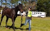 16.1hh Anglo Gelding on HorseYard.com.au (thumbnail)