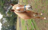 Arab riding pony on HorseYard.com.au (thumbnail)