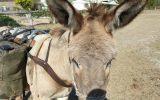 Donkey for sale 12.5 hand standard bred on HorseYard.com.au (thumbnail)