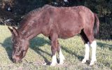 Stunning Mule on HorseYard.com.au (thumbnail)