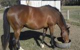 6yo stock horse geld  on HorseYard.com.au (thumbnail)