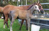 Australian/welsh pony  on HorseYard.com.au (thumbnail)
